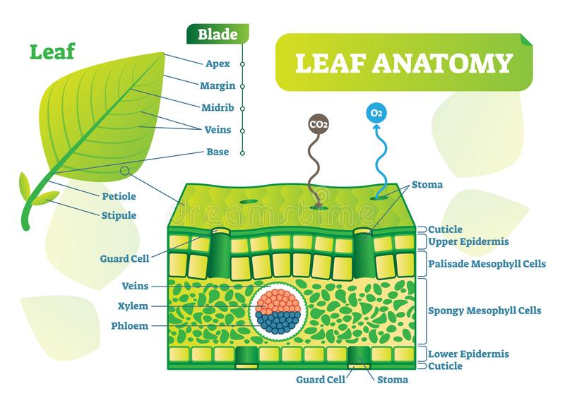 Leaf anatomy vector illustration diagram. Biological macro scheme poster. Leaf anatomy vector illustration diagram. Biological macro scheme poster with leaf vector illustration