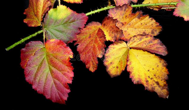 Leaf, Autumn, Grape Leaves, Grapevine Family stock images