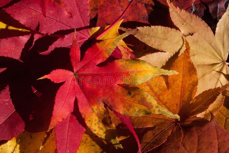 Leaf, Autumn, Maple Leaf, Flora royalty free stock images