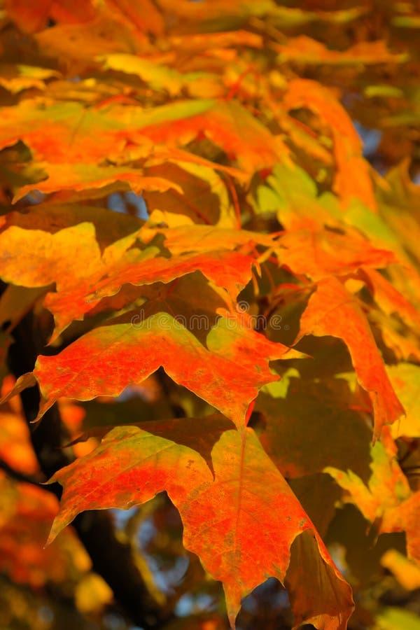 Leaf, Autumn, Maple Leaf, Orange royalty free stock photos