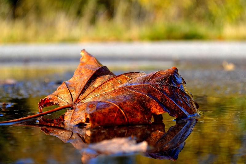 Leaf, Autumn, Water, Maple Leaf royalty free stock photos