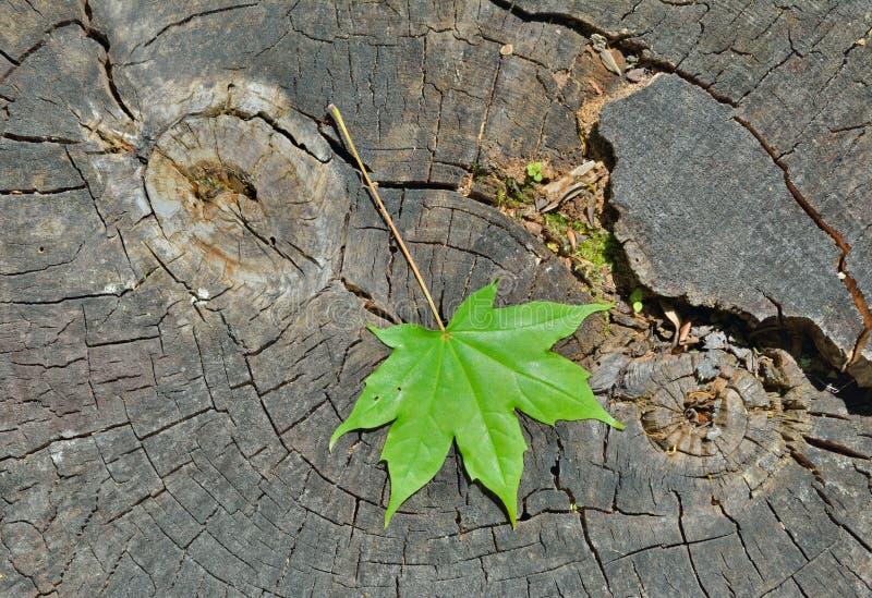 Download Leaf av lönn arkivfoto. Bild av wild, lönn, detaljer - 78727668