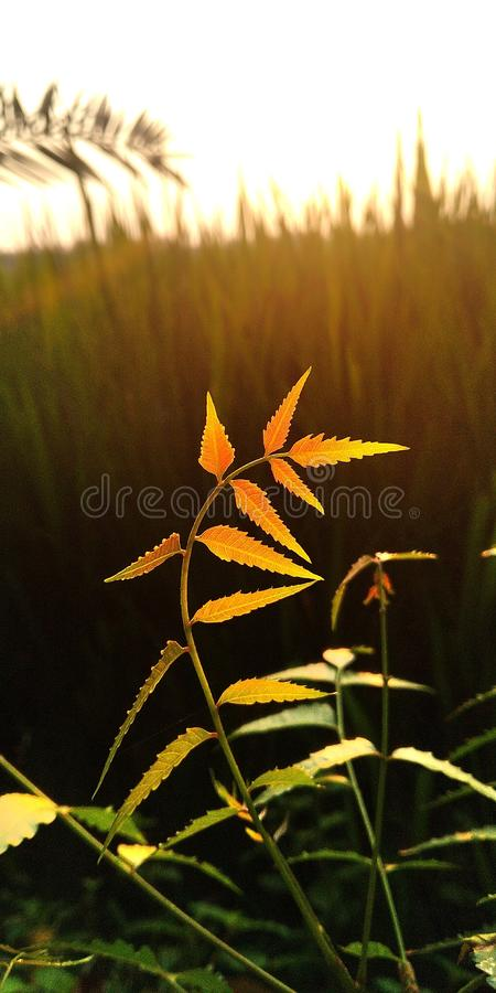 Leaf of Azadirachta clicked in sun set . Wallpaper, bagroundwallpaper, nature stock images