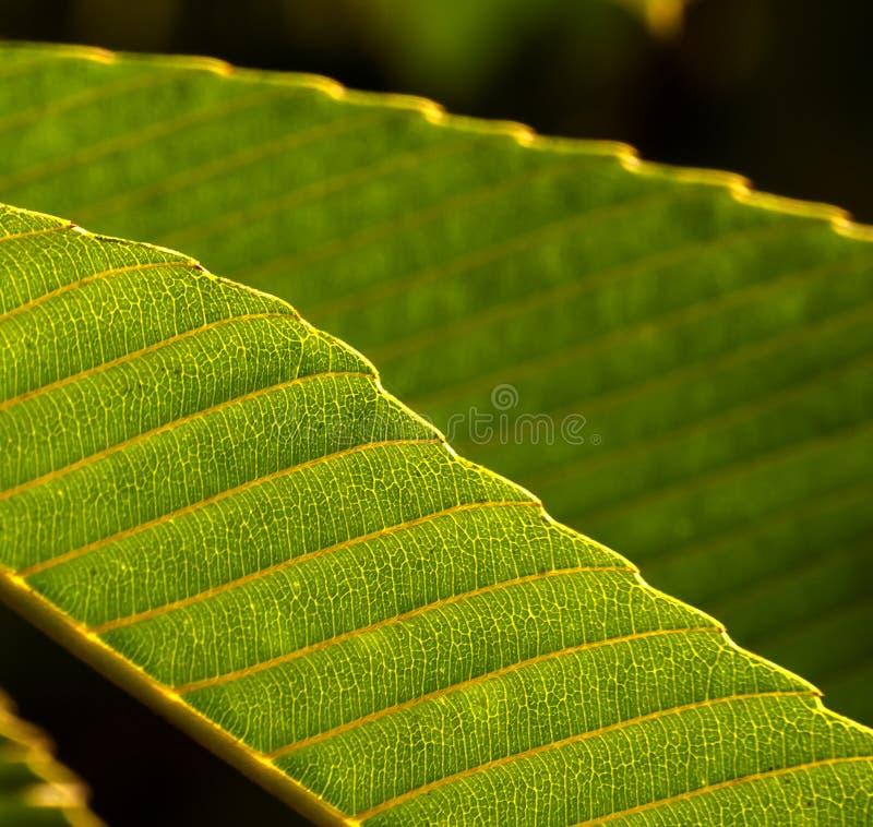 Download Leaf Background stock image. Image of botanical, lines - 25524517