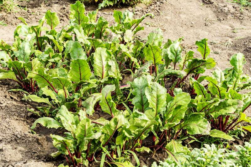 Leaf of beet root. Fresh green leaves of beetroot or beet root seedling. Row of green young beet leaves growth in organic farm. stock photos