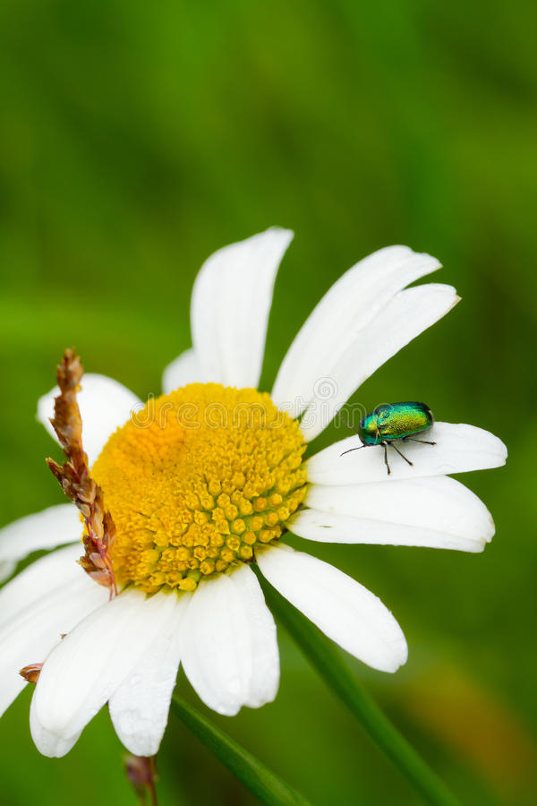 Leaf Beetle Royalty Free Stock Photography