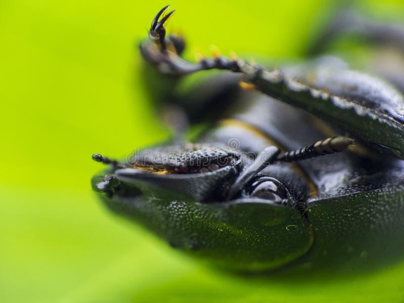 Leaf beetle - Prasocuris Junci stock images