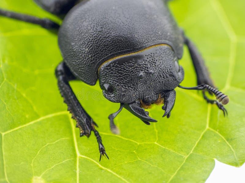 Leaf beetle - Prasocuris Junci stock photography