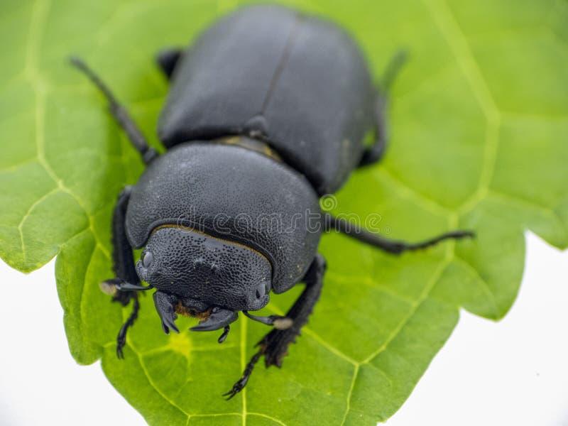 Leaf beetle - Prasocuris Junci royalty free stock photography