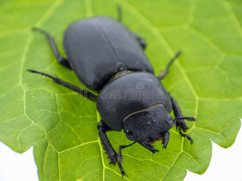 Leaf beetle - Prasocuris Junci royalty free stock image