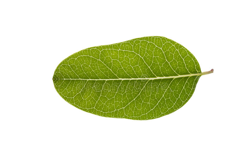 Leaf of bengal currant royalty free stock photos