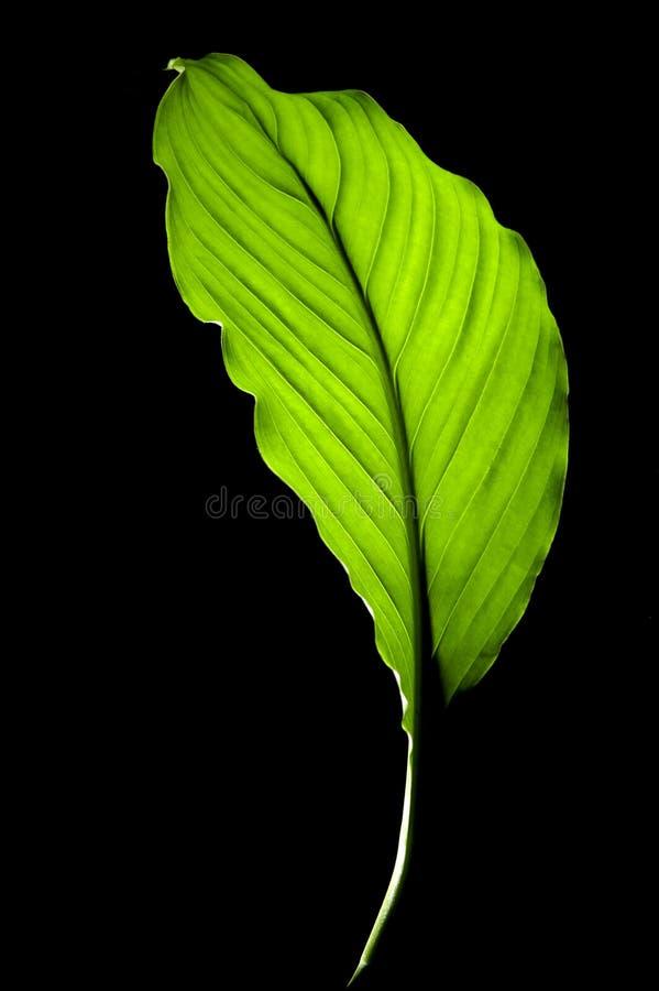 Leaf on black background stock photo