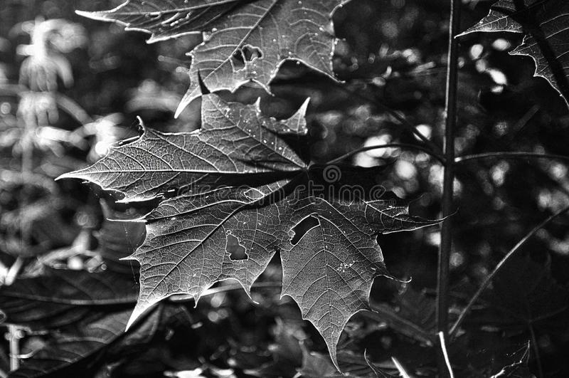 Leaf, Black And White, Monochrome Photography, Plant stock photo