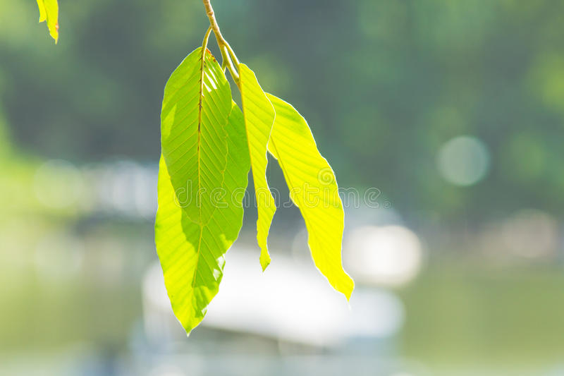 Leaf blur background in park of Thailand royalty free stock image