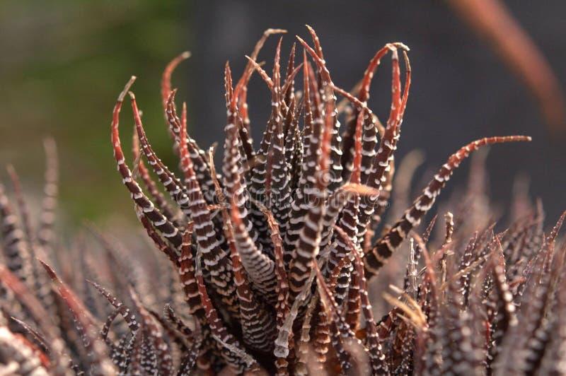 Tiger plant in botanic garden stock photography