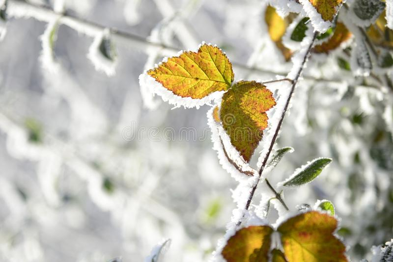 Leaf, Branch, Winter, Frost stock images