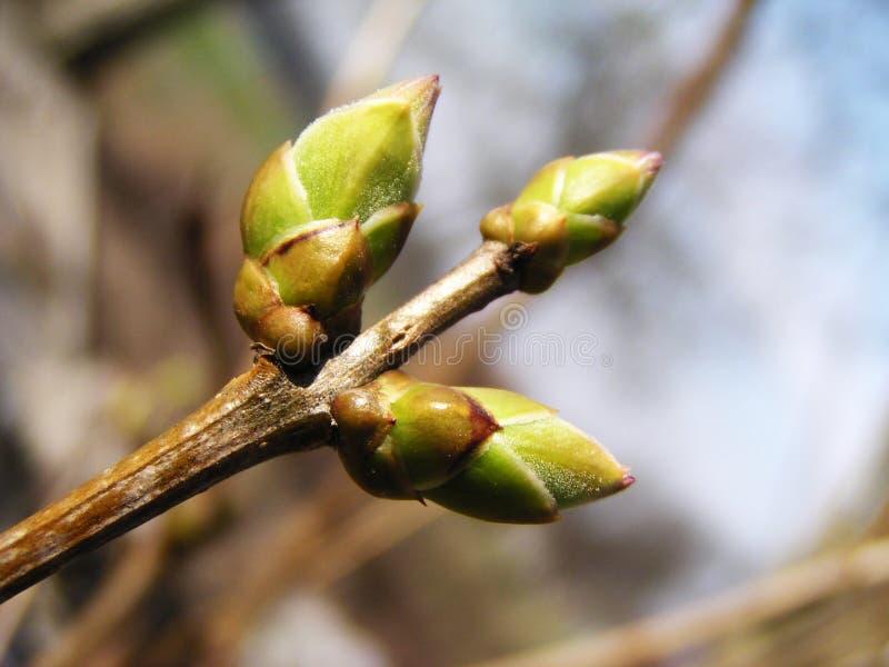 Leaf bud. Spring leaf bud (triple royalty free stock photo