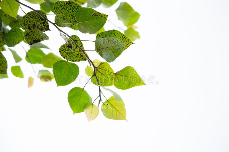 Download Leaf Of Buddha02 Royalty Free Stock Photos - Image: 26865368