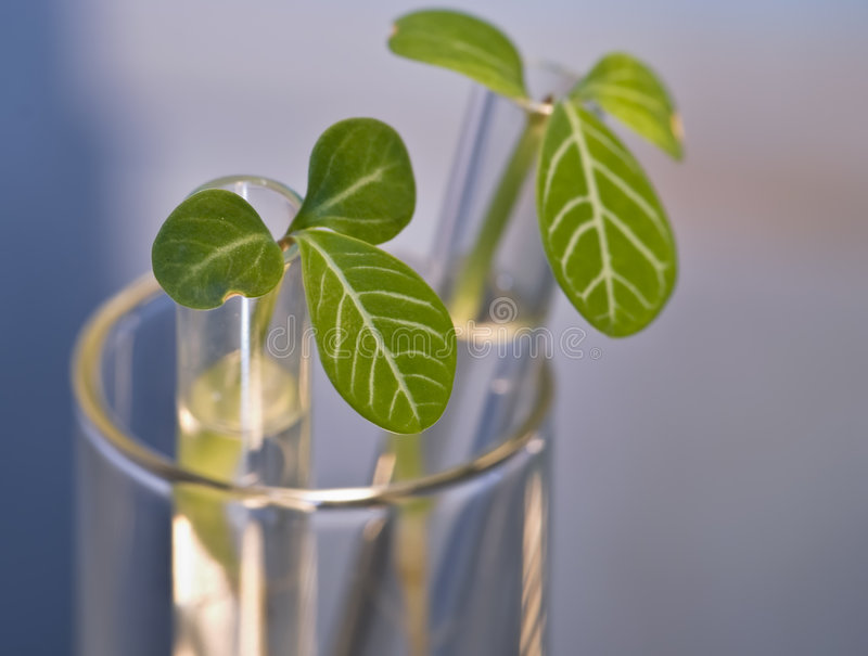 Leaf buds in test-tube stock images