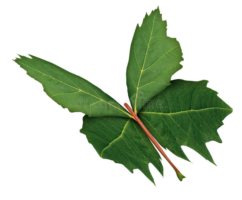 Leaf Butterfly. As a symbol of nature hope and growth or development with a three quarter view of a green maple leaf shaped as the open wings of a flying vector illustration