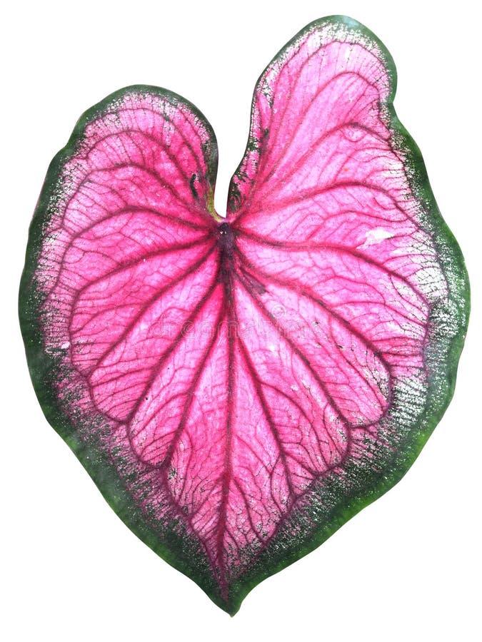 Leaf of Caladium royalty free stock photo