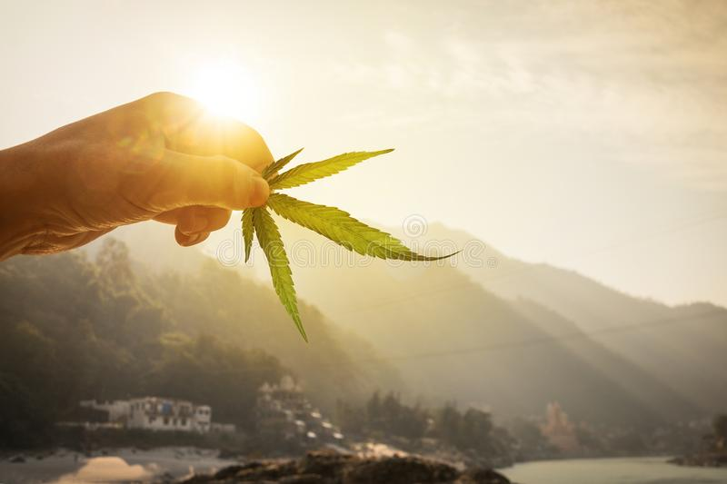 Leaf of cannabis in the hand in the setting sun on blurred background stock photo