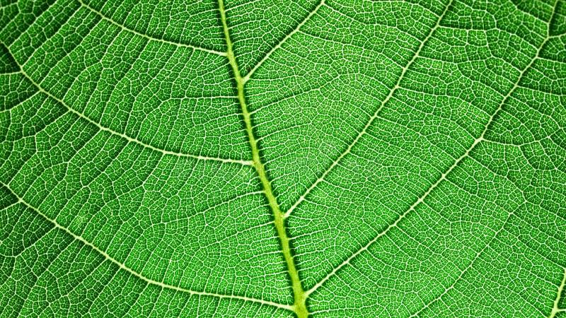 Leaf capillary network royalty free stock photos