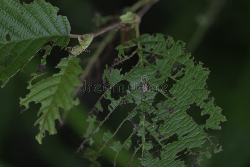 Leaf Casi Todos Comidos Por Insectos imagenes de archivo