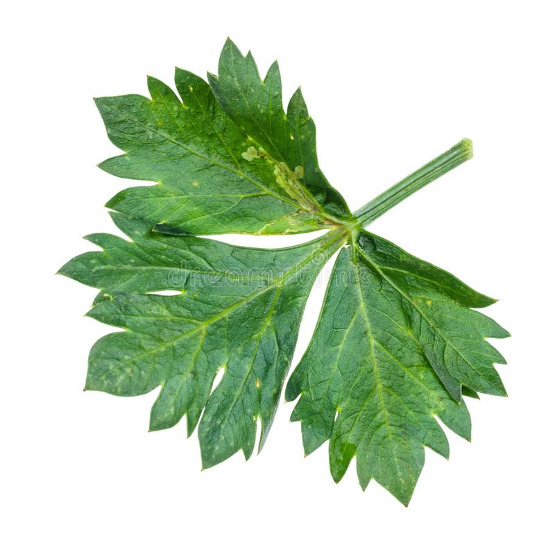 Leaf of celeriac (celery) plant cutout on white. Green leaf of celeriac (celery, apium graveolens var rapaceum) plant cutout on white background royalty free stock image