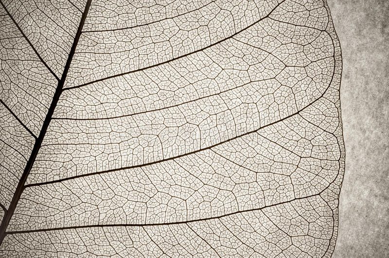Leaf macro. Grunge macro of a delicate leaf structure stock photo