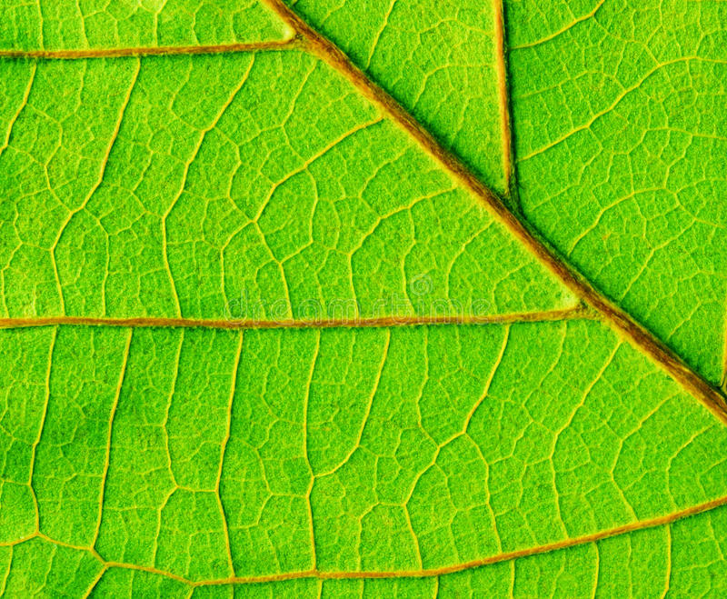 Leaf close up royalty free stock photo