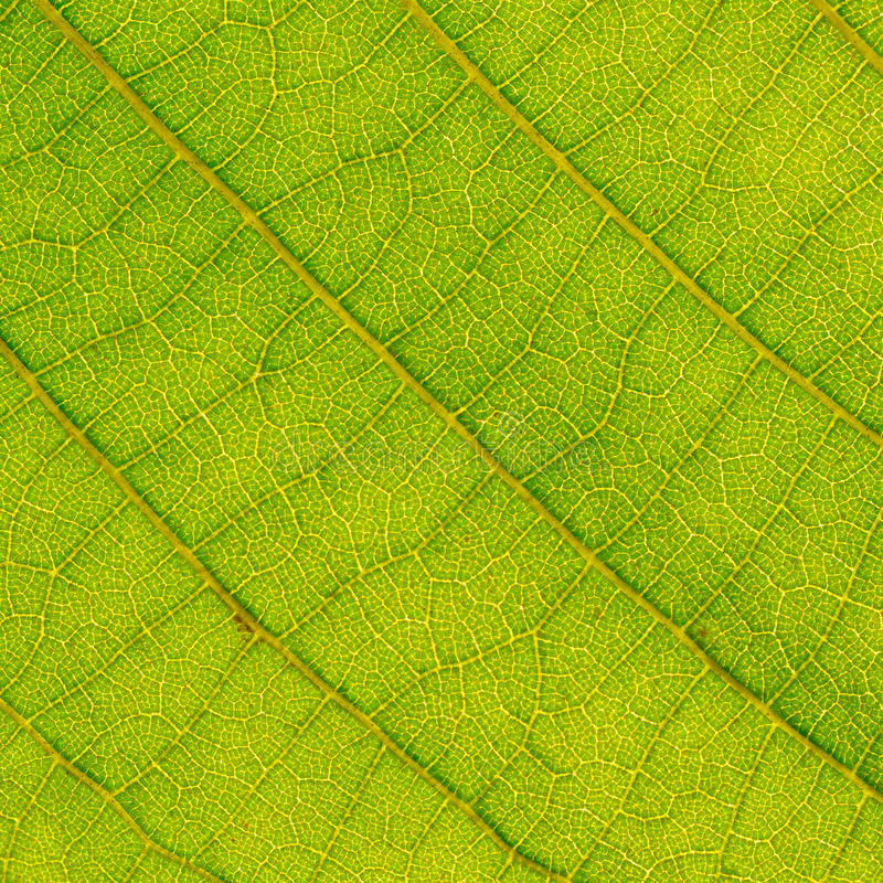 Download Leaf close up stock image. Image of close, leafs, macro - 26210465