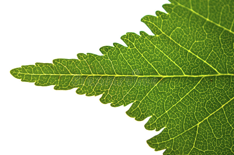 Download Leaf macro stock image. Image of floral, single, perfect - 28272001
