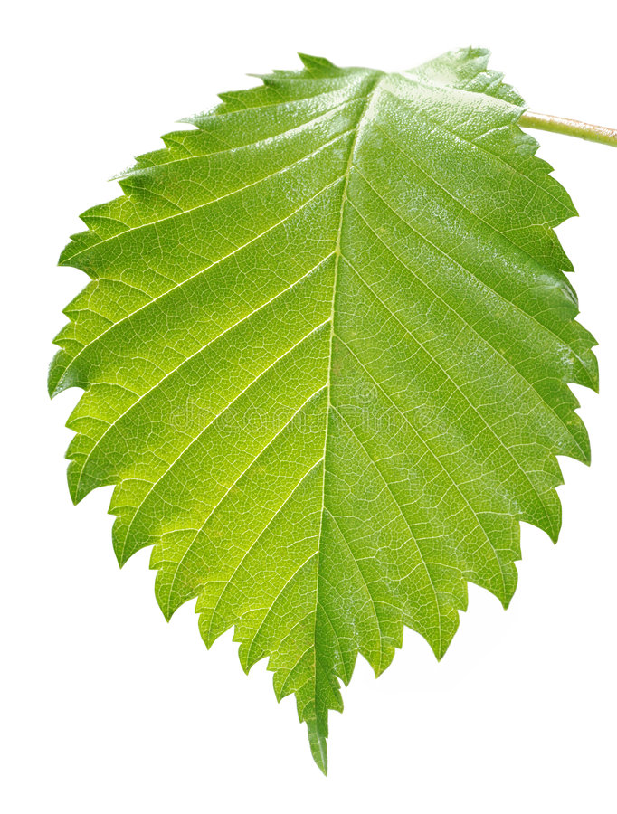 Leaf close-up royalty free stock photos