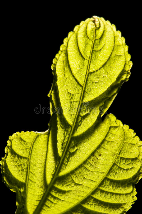 Leaf Closeup Stock Image