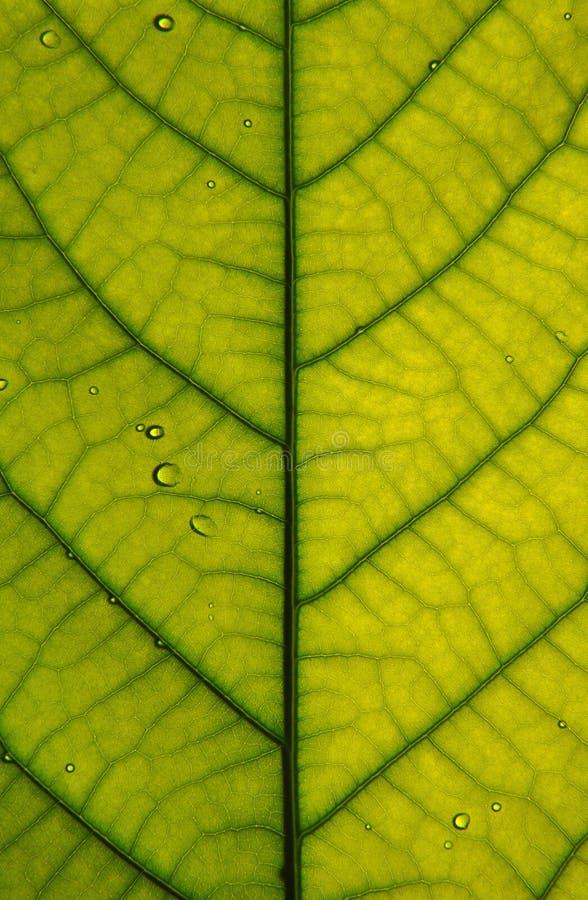 Free Leaf Closeup Royalty Free Stock Photos - 14561948