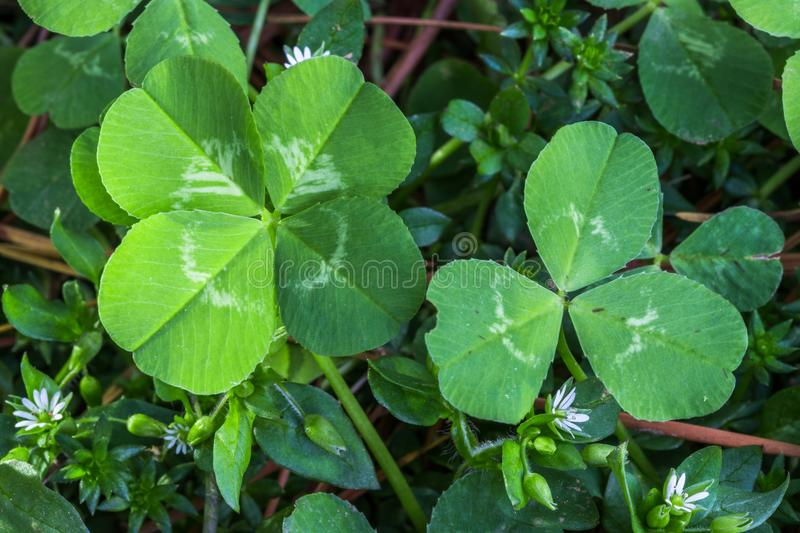 4-leaf and 3-leaf clovers stock photography