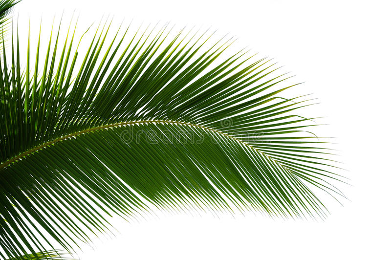 Leaf Of Coconut Palm Tree Isolated Stock Photo Image Of