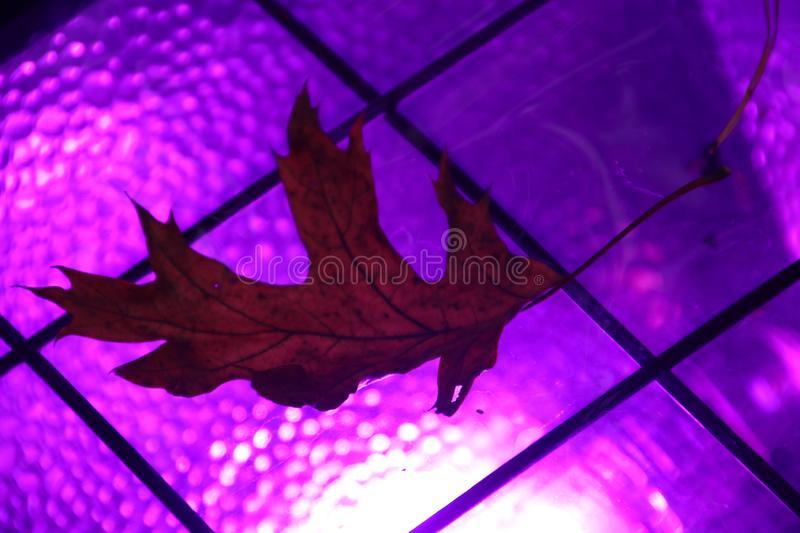Leaf coloring purple on lights in the forest for festival stock photos