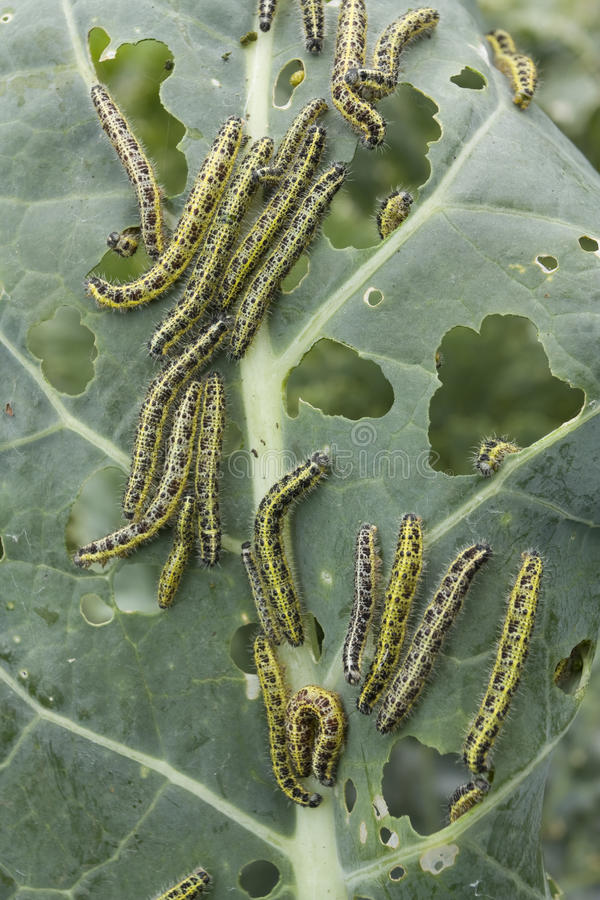 Download Leaf Covered With Caterpillas Pest Stock Image - Image: 14963209