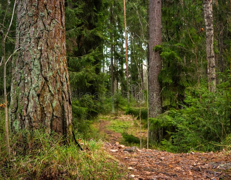 Leaf Covered Forest Path Southern Finland. Leaf Covered Path Leading to Forest with Pine and Spruce Trees stock image