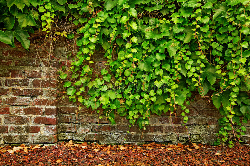 Download Leaf Covered Old Brick Wall Stock Image - Image of damaged, nature: 32754047
