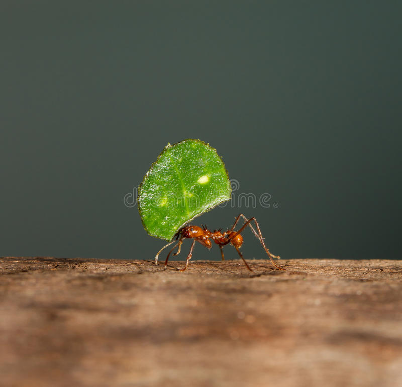An leaf cutter ant. Is carrying a leaf royalty free stock photography