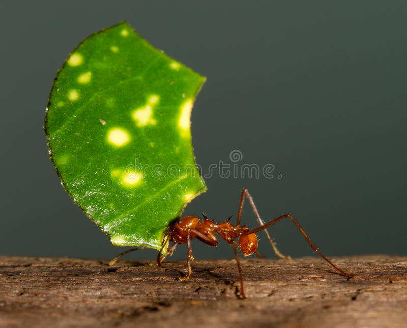 An leaf cutter ant. Is carrying a leaf royalty free stock images