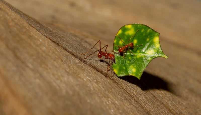 An leaf cutter ant. Is carrying a leaf stock photography