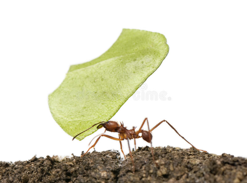 Leaf-cutter ant, Acromyrmex octospinosus stock photography