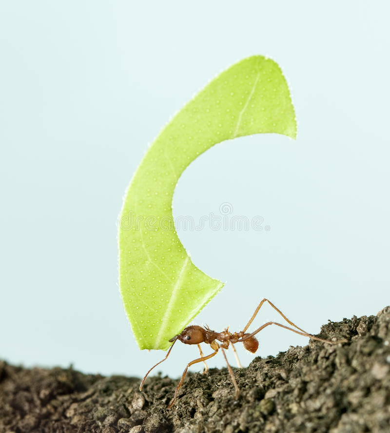 Leaf-cutter ant, Acromyrmex octospinosus royalty free stock images