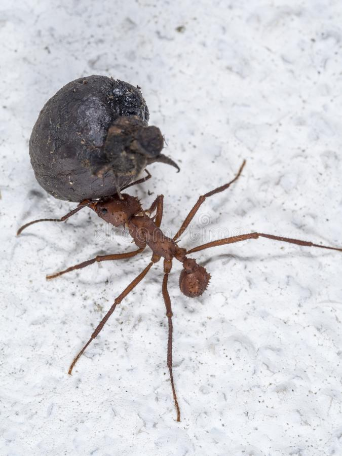 A leaf-cutter ant carrying a fruit part. A worker leaf-cutter ant [Atta cephalotes] with a large black fruit part in its jaws, on white ground royalty free stock photos