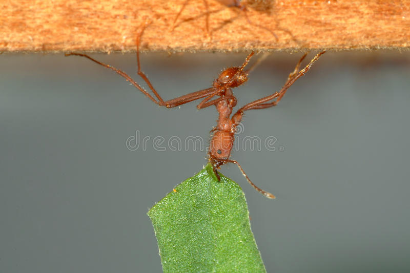 Leaf-cutter ant carrying leaf. Leaf-cutter ant, Acromyrmex octospinosus, carrying leaf royalty free stock image