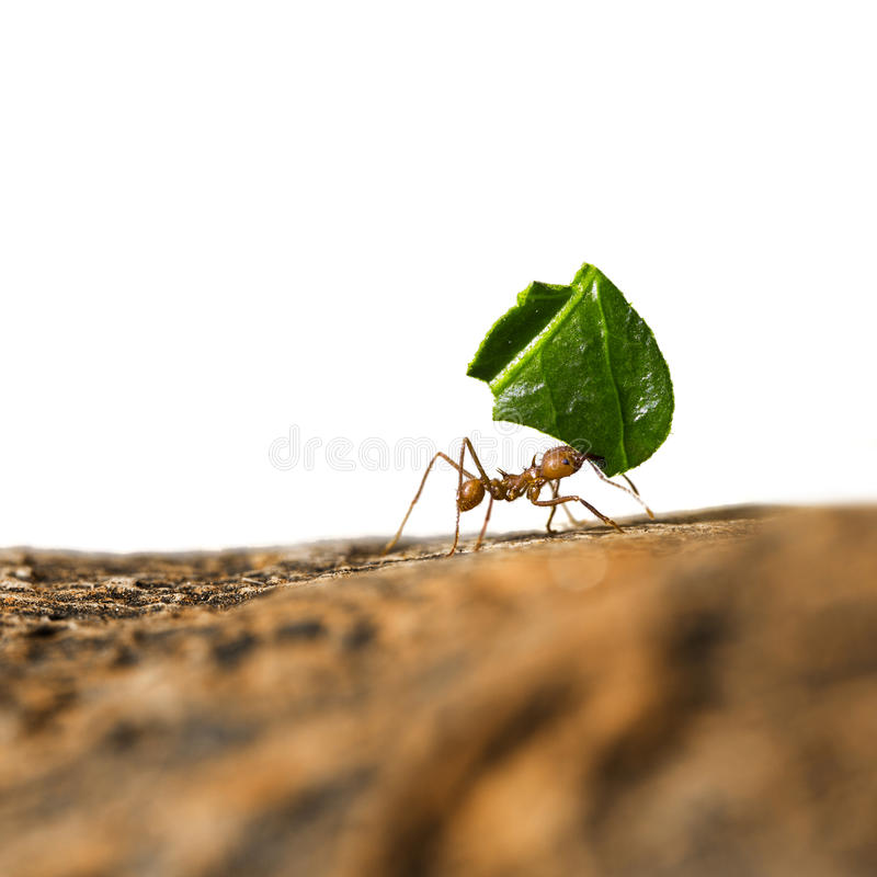 Leaf-cutter ant carrying leaf piece on tree log. Leaf-cutter ant, Acromyrmex octospinosus, carrying leaf piece on tree log. Isolated on white background royalty free stock photos